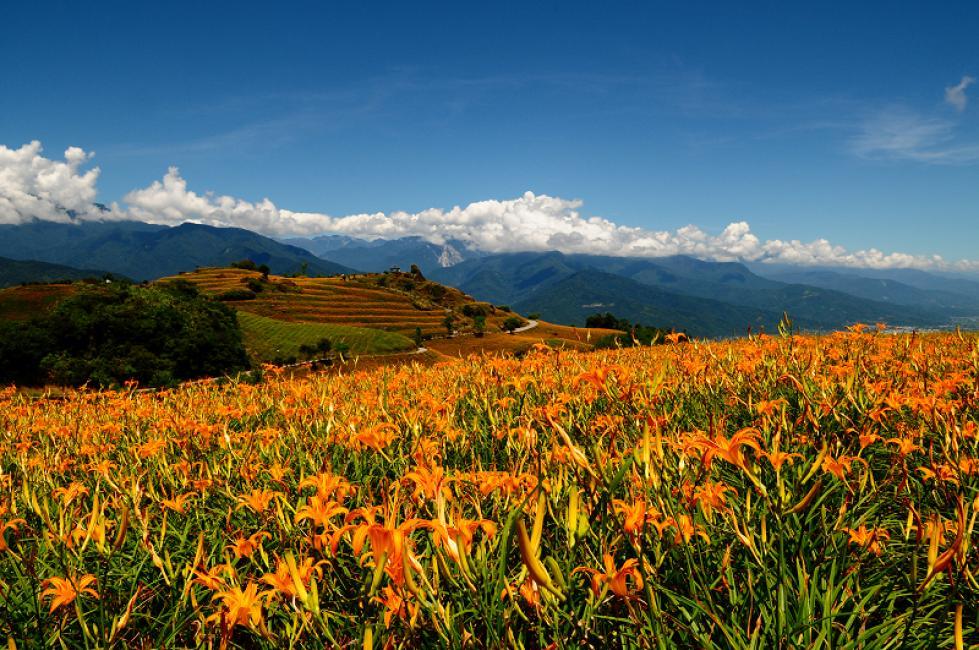 Mt Liushidan Daylily: Hualien, Taiwan